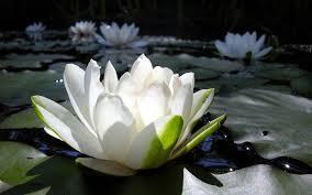 Witte Waterlelie – Frederick van Eeden